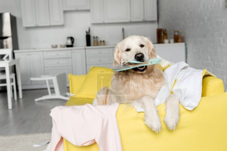 Photo for Cute golden retriever lying on yellow sofa and holding slipper in messy apartment - Royalty Free Image
