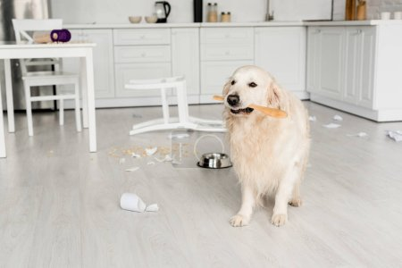 Photo for Cute golden retriever sitting on floor and holding wooden spoon in messy kitchen - Royalty Free Image