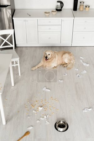 Photo for Cute golden retriever lying on floor in messy kitchen - Royalty Free Image