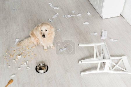 Photo for High angle view of cute golden retriever sitting on floor in messy kitchen - Royalty Free Image
