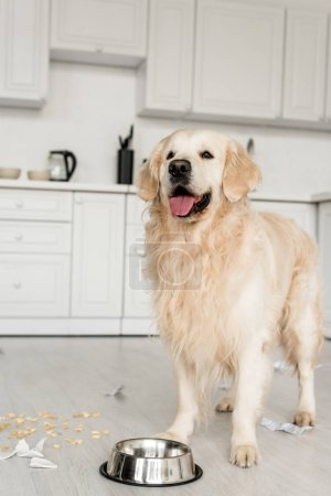 Photo for Cute golden retriever standing on floor with metal bowl in messy kitchen - Royalty Free Image