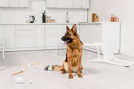 Photo for Cute German Shepherd sitting on floor with metal bowl and broken dishes in kitchen - Royalty Free Image