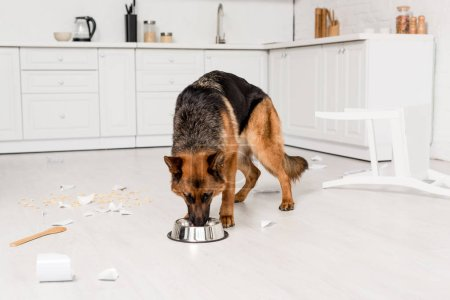 Photo for Cute German Shepherd eating dog food from metal bowl in messy kitchen - Royalty Free Image