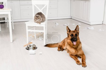 Photo for Cute German Shepherd lying on floor and grey cat lying on chair in messy kitchen - Royalty Free Image