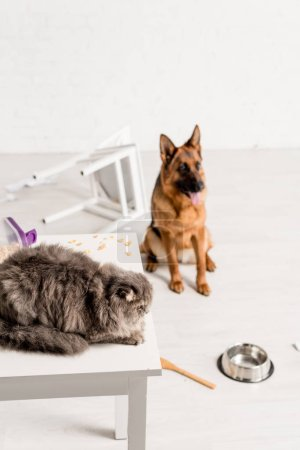 Photo for Selective focus of grey cat lying on table and German Shepherd sitting on floor in messy kitchen - Royalty Free Image