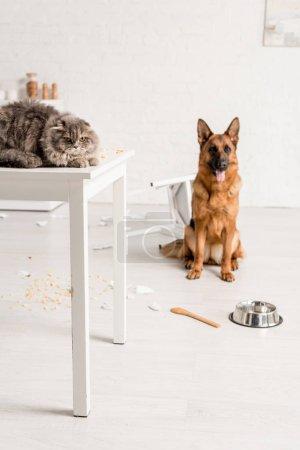 Foto de Enfoque selectivo de gato gris acostado en la mesa y pastor alemán sentado en el suelo en la cocina desordenada - Imagen libre de derechos