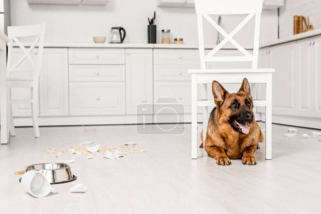 Photo for Cute German Shepherd lying under white chair on floor in messy kitchen - Royalty Free Image
