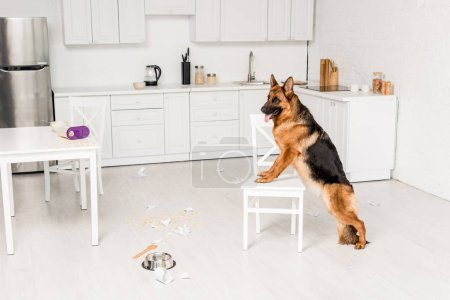 Photo for Cute German Shepherd standing on white chair and looking away in messy kitchen - Royalty Free Image