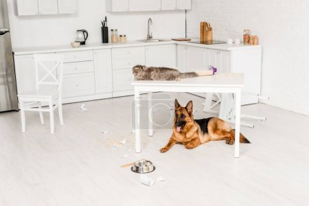 cute and grey cat lying on white table and German Shepherd lying on floor in messy kitchen