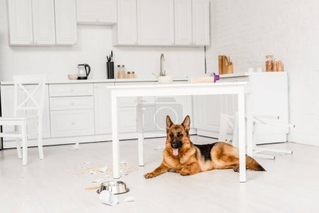 Photo for Cute German Shepherd lying on floor and looking away in messy kitchen - Royalty Free Image
