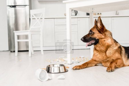 Photo for Side view of cute German Shepherd lying on floor in messy kitchen - Royalty Free Image