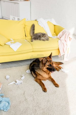 Photo for Cute and grey cat lying on yellow sofa and German Shepherd lying on floor in messy apartment - Royalty Free Image