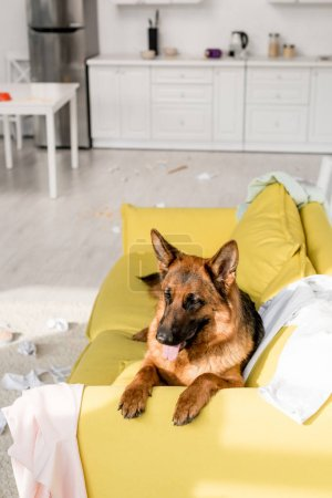 Photo for Cute German Shepherd lying on bright yellow sofa in messy apartment - Royalty Free Image
