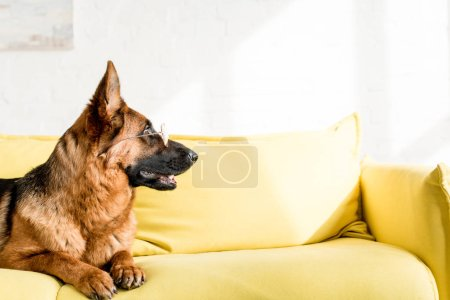 Photo for Side view of cute German Shepherd in glasses lying on bright yellow couch in apartment - Royalty Free Image