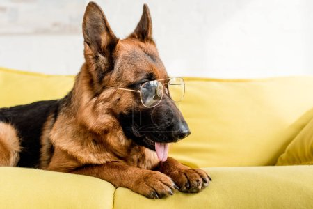Photo for Cute German Shepherd in glasses lying on bright yellow couch in apartment - Royalty Free Image