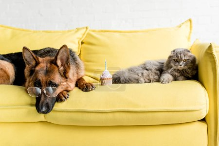 cute German Shepherd in glasses and grey cat lying on bright yellow couch with birthday cupcake in apartment