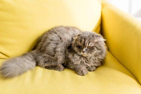 Photo pour Chat mignon et gris couché sur le canapé jaune vif dans l'appartement - image libre de droit