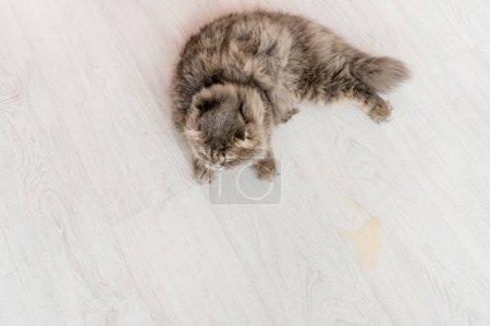 Foto de Vista superior de lindo gato gris en blanco y madera piso apartamento - Imagen libre de derechos
