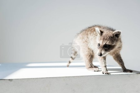 Photo for Adorable furry, funny raccoon in sunshine on grey background - Royalty Free Image