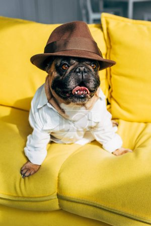 Photo for Cute french bulldog in shirt and brown hat sitting on yellow sofa in living room - Royalty Free Image