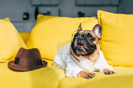 Photo for French bulldog in shirt and glasses lying near brown hat on yellow sofa - Royalty Free Image