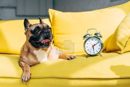 Photo pour Mignon bouledogue français couché près rétro réveil sur canapé jaune - image libre de droit