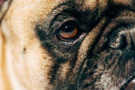 Photo pour Gros plan de mignon et de pur-sang français Bulldog - image libre de droit