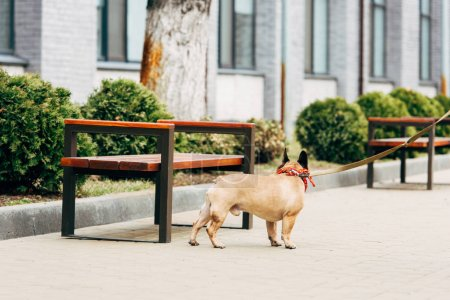 Photo for Leashed purebred french bulldog standing near wooden benches - Royalty Free Image