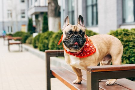 Photo for Cute purebred french bulldog wearing red scarf and sitting on wooden bench - Royalty Free Image