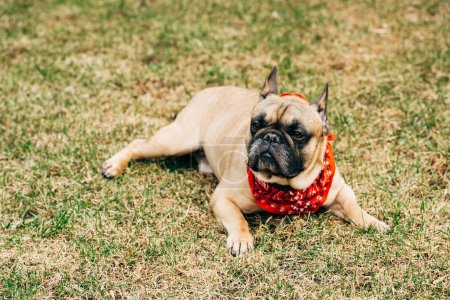 Photo for Purebred french bulldog wearing red scarf and lying on green grass - Royalty Free Image