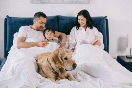 Photo pour Foyer sélectif du crabot se trouvant sur le lit près des parents heureux et du fils d'enfant en bas âge - image libre de droit