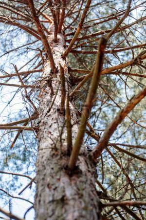 Photo for Low angle view of pine tree branches and sky in forest - Royalty Free Image