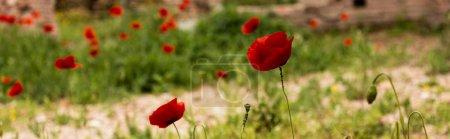 Photo pour Plan panoramique d'herbe verte et de coquelicots rouges en rome, italie - image libre de droit