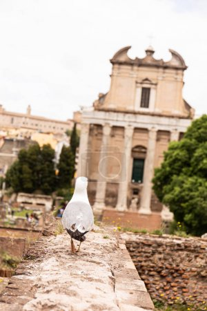 ROME, ITALY - JUNE 28, 2019: back view of seagull in front of old building in rome, italy