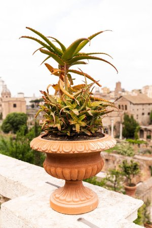 Photo for Aloe vera in flowerpot in front of old buildings in rome, italy - Royalty Free Image