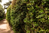 "Постер, картина, фотообои ""selective focus of green bushes in sunny day in rome, italy"""