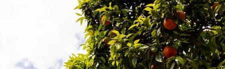 Photo pour Tir panoramique de l'arbre avec les feuilles vertes et les mandarines mûres sous le ciel avec des nuages dans rome, Italie - image libre de droit