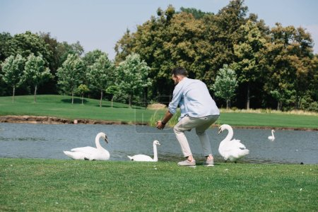 Photo pour Jeune homme restant avec les mains tendues près des cygnes blancs dans le stationnement - image libre de droit