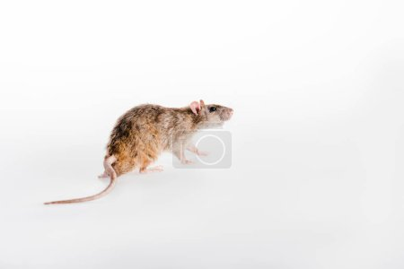 small and fluffy rat running on white