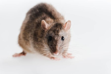 selective focus of small and fluffy rat isolated on white