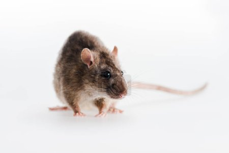 selective focus of small rat isolated on white