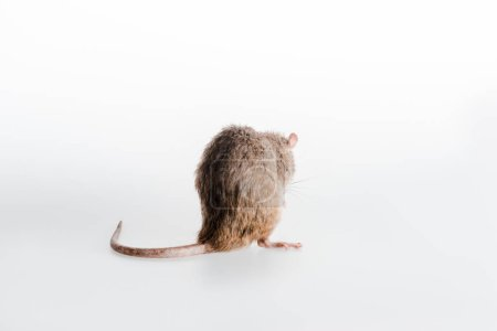 little domestic rat  on white with copy space