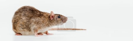 panoramic shot of small domestic rat isolated on white