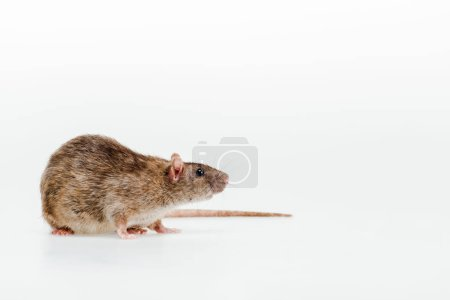 small and cute domestic rat isolated on white