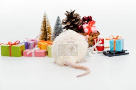 Photo pour Foyer sélectif du rat domestique près des cadeaux colorés isolés sur le blanc - image libre de droit
