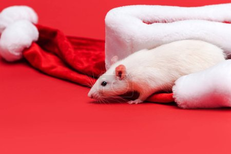 selective focus of cute white rat near santa hats isolated on red