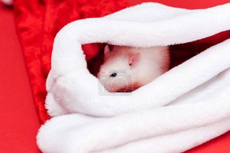 Photo pour Foyer sélectif de mignon petit rat dans santa chapeau isolé sur rouge - image libre de droit