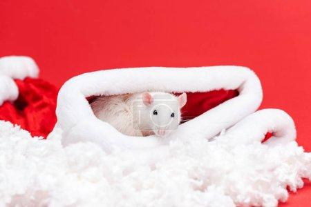 Photo pour Foyer sélectif du petit rat mignon dans le chapeau de santa d'isolement sur le rouge - image libre de droit
