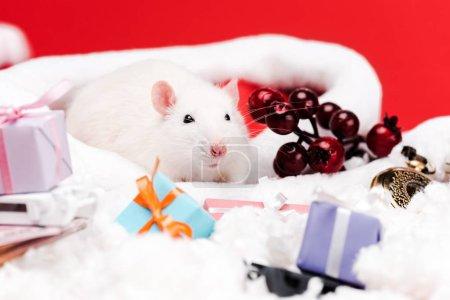 Photo pour Foyer sélectif du petit rat dans le chapeau de Père Noël près du cône de pin et présente isolé sur rouge - image libre de droit