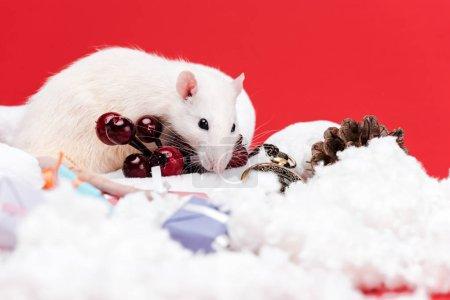 Photo pour Foyer sélectif de petit rat près des baies rouges et présente isolé sur le rouge - image libre de droit